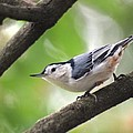 Nuthatch by Living Color Photography Lorraine Lynch