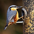 Nuthatch by Vic Sharratt