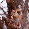 Nutty Squirrel by Josef Pittner
