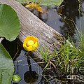 Nymphaea Odorata In Yellow by Roxann Whited