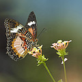 Nymphalid Butterfly Cethosia Luzonica by Tim Fitzharris