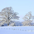 Oak In Snow by Mark Taylor