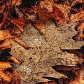 Oak Leaf 1 by John Herzog