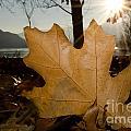 Oak Leaf In Backlight by Mats Silvan