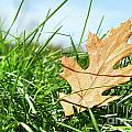 Oak Leaf In The Grass by Sandra Cunningham