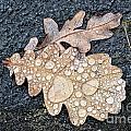 Oak Leaves by Mats Silvan
