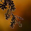 Oak Leaves by Rima Biswas