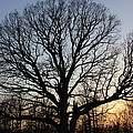 oak Tree at sunset by Marie Halligan
