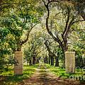 Oak Tree Lined Drive by Joan McCool