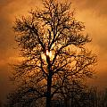 Oak Tree Sunburst by Michael Dougherty
