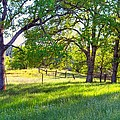 Oak Trees In The Spring by Gregory Dean