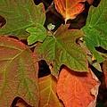 Oakleaf Hydrangea-1 by Charles Hite