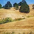 Oaks On Grassy Hill by Bonnie Bruno