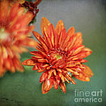 October Mums by Darren Fisher