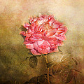 October Rose by Jai Johnson