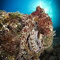 Octopus Posing On Reef, La Paz, Mexico by Todd Winner