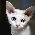 Odd-eyed Kitten by Glennis Siverson