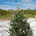 Oh Christmas Tree Florida Style by Christine Stonebridge