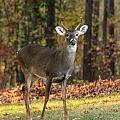 Oh Deer by Joe Myeress