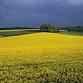 Oilseed Rape Crop (brassica Napus) by Adrian Bicker