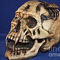 Old Bone's Skull On Blue Cloth by Robert D  Brozek