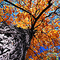 Old Elm Tree In The Fall by Elena Elisseeva
