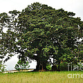 Old Fig Tree - Ficus Carica by Kaye Menner