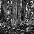 Old Growth Cedar Trees - Montana by Daniel Hagerman
