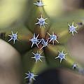 Old Man Cactus Lophocereus Schottii by Cyril Ruoso