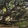 Old Oak by Sharon Foster
