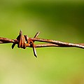 Old Rusty Twisted Barbed Wire by Gregory Dean