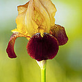 Old Time Two Toned Burgundy And Gold Iris by Kathy Clark