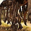 Old Tree Roots by Parikshat sharma