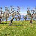 olive grove on Lake Gardan by Joana Kruse