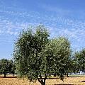 Olive Tree In Provence by Bernard Jaubert