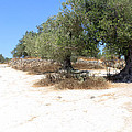 Olive Trees In Samaria by Munir Alawi