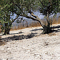 Olive Trees Standing Alone by Munir Alawi
