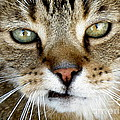 Oliver The Cat by Lainie Wrightson