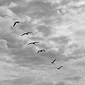 On A Mission - Black And White by Suzanne Gaff