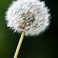 One Dandelion Flower Isolated  by U Schade