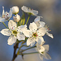 One Fine Morning In Bradford Pear Blossoms by Kathy Clark
