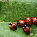 One Lady Bug Voted Off The Island by Bob Christopher