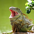 Open Mouth Iguana by Patricia Blake