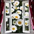 Open Windows Onto Large Daisies by Simon Bratt Photography LRPS