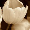 Opening Tulip Flower Sepia Monochrome by Jennie Marie Schell
