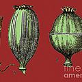 Opium Harvesting by Science Source