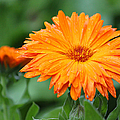 Orange And Green II by Suzanne Gaff