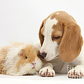 Orange-and-white Beagle Pup And Alpaca by Mark Taylor