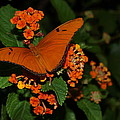 Orange Butterfly by Alan Hutchins