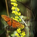 Orange Butterfly On Yellow Wildflower by Carolyn Marshall